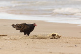 Turkey Vulture Examining a Dead Lake Sturgeon on the Beach