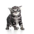 funny black cat kitten isolated on white