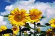 Zwei Sonnenblumen im Sonnenblumenfeld vor  dem Himmel