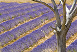 Lavender field with tree. Provence. France