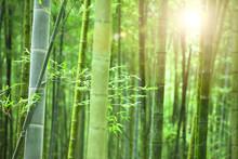 Forêt de bambous avec le soleil du matin
