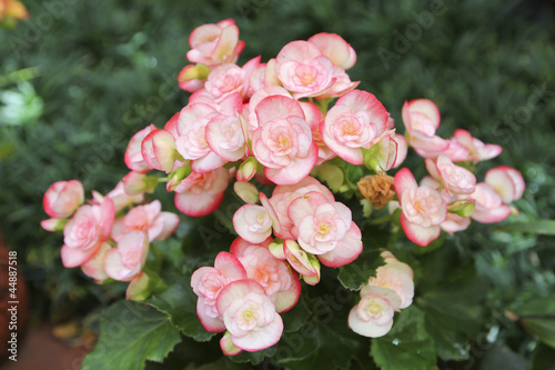 begonia flowers closeup