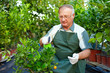 senior man, gardener cares for citrus plants in greenhouse