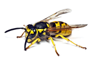 live wasp isolated on white