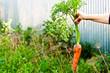 carrots in hand