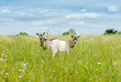 Two goats eating grass on green meadow