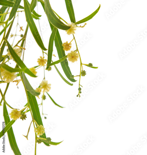 Acacia branches with flowers