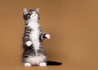 small siberian kitten on light brown background