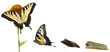 Tiger Swallowtail metamorphosis