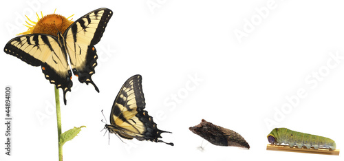 Tiger Swallowtail metamorphosis