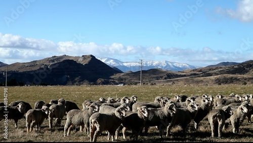 Grazing flock of Sheeps in a farmland of New Zealand