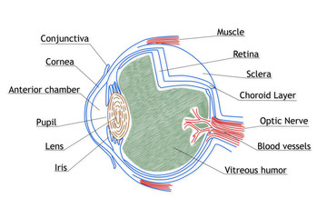Human Eye structure