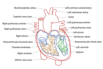 Human Heart structure