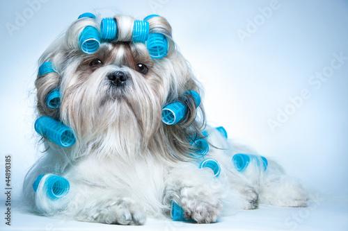 Shih tzu dog - 44898385