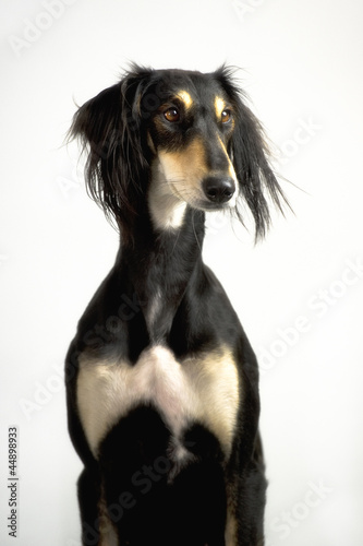 Persian greyhound, saluki breed posing