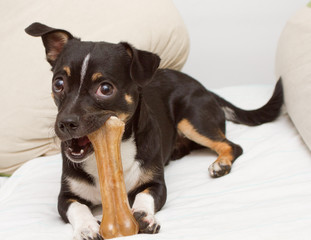 Small dog is playing with bone