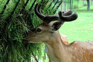 Fed deer in Zoo