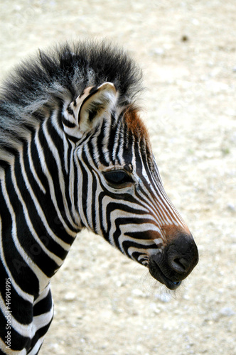 Young zebra's head - Profile - Right side