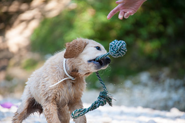 Golden Retriever en action ! (Lof), 4 mois.