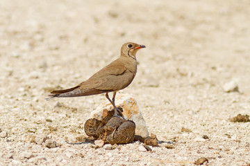 Collared Pratincole On The Turd
