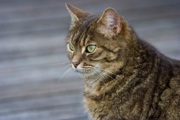 Splendido ritratto di gatto con occhi verdi