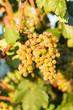 Reife Weintrauben im Weingarten