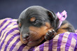 Miniature Pinscher puppy, 5 days old