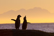 African penguin couple at sunset