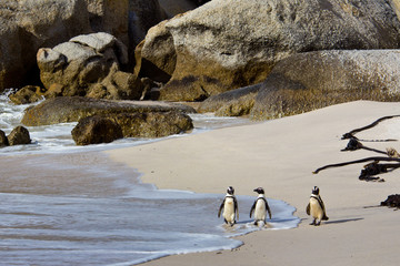 African penuins on Boulders Beach