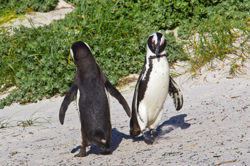 African penguin dance