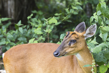 Deer in the forest of Khao Yai national park