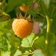 Himbeere - Rubus idaeus