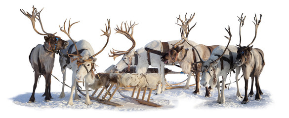 Reindeers in harness