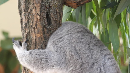 Koala wakes up in a tree