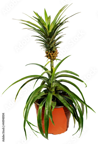 potted pineapple tree with fruit isolated on white