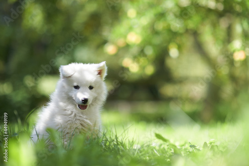Portrait of a samoyed dog puppy