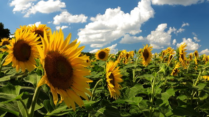 Close up of vivid sunflowers and blue sky with puffy clouds
