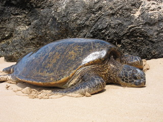 Large adult sea turtle on the North Shore of Hawaii