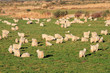 Herd of Angora goats on lush green pasture