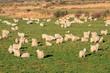 Herd of Angora goats on lush green pasture