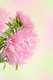 Fototapety Aster flowers