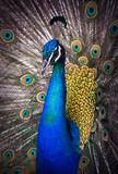 Fototapeta ogon - zwierzę - Ptak