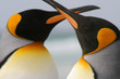 King Penguin Couple crossed beaks love affection