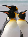 Group of three King Penguins, Falkland Islands