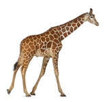 Somali Giraffe, commonly known as Reticulated Giraffe poster