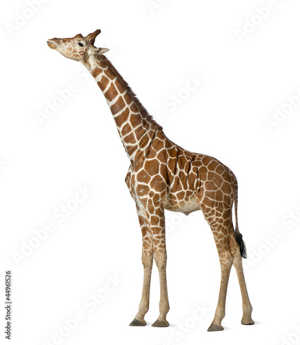 Staande foto Giraffe Somali Giraffe, commonly known as Reticulated Giraffe