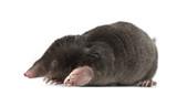 European Mole, Talpa europaea - Fine Art prints
