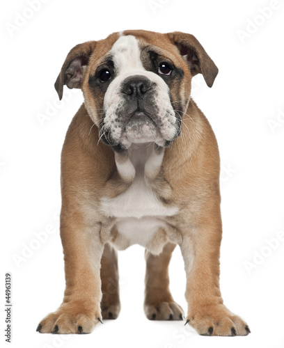 English Bulldog puppy, 2 and a half months old
