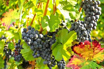 Weinstock mit roten Trauben