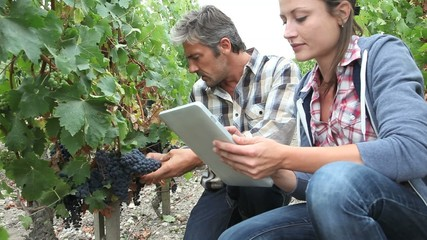 Winemakers in vine rows checking grapes quality